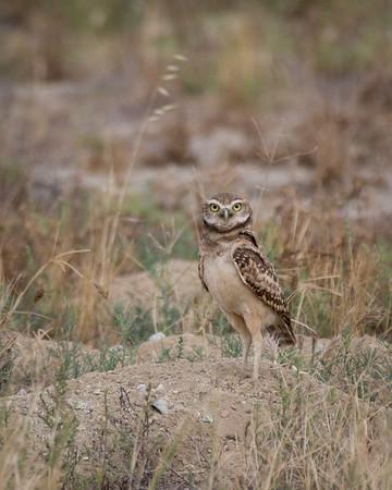 Burrowing Owl | California