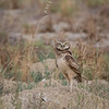 Burrowing Owl | California