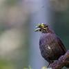 Swiss Blackbird
