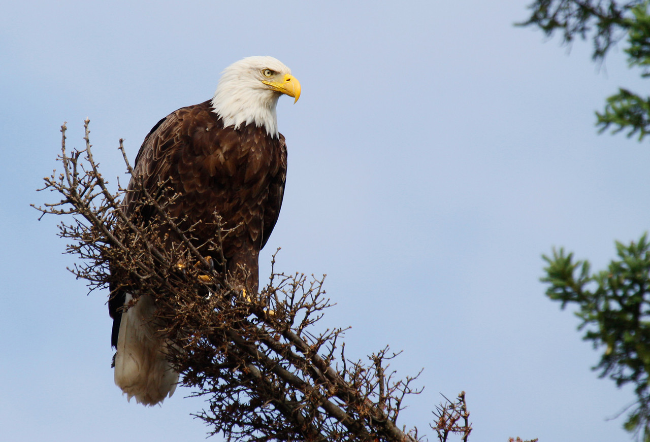 Bald Eagle - Bois Brule River, Wisconsin