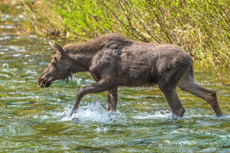 Young Bull Moose Crossing North Fork Coeur d'Alene River
