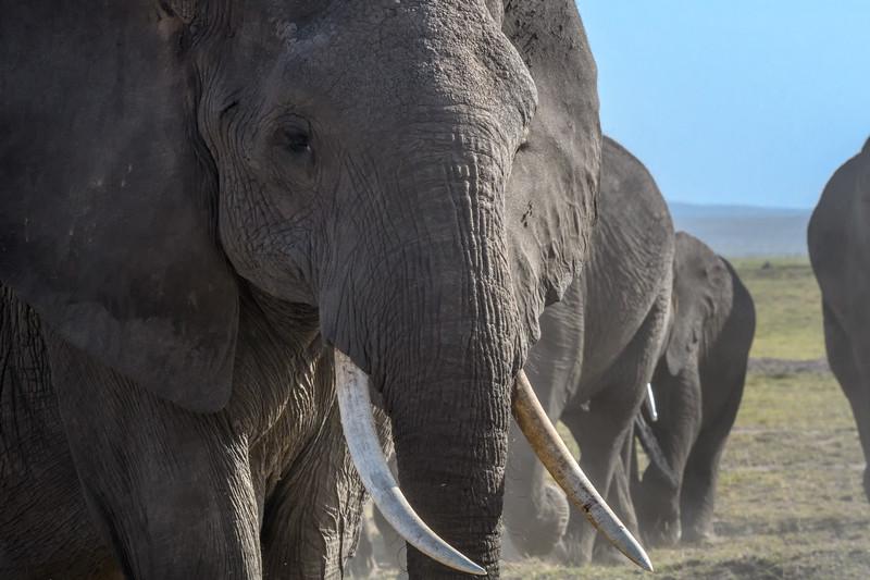 Closeup of elephant, Amboseli National Park, Kenya, East Africa