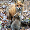 A Red Fox Kit With His Mama 4/30/21