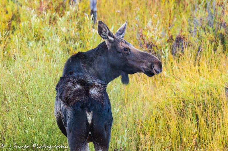 Female moose with ruffled hair