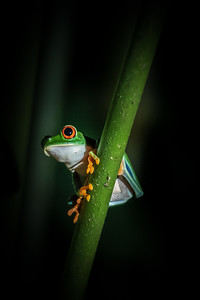 Red Eyed Tree Frog - Portrait