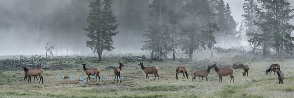 Elk grazing just before sunrise.