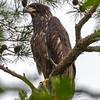 Juvenile Bald Eagle 6/13/18