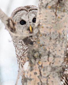 Longview, Alta - Jan 23, 2020 - A rare sighting, a barred owl  hunts along the Highwood River east of Longview. (Mike Sturk photo)