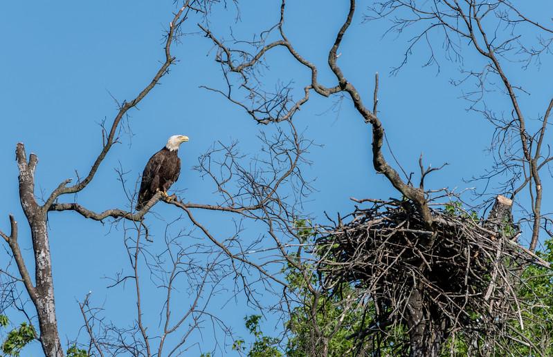 Bald Eagle and Nest 5/21/17