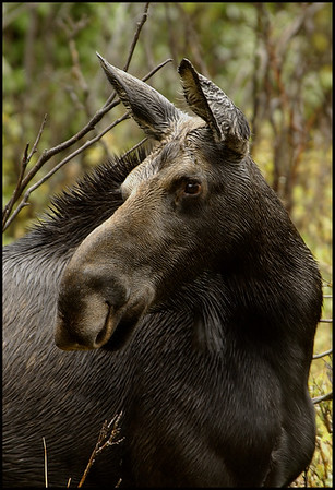 Moose in the Rain - Rawah Valley, Colorado