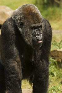 Young male Gorilla.