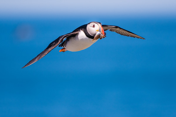 Puffing in Flight with Fish