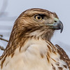 A Close-Up of Red-Tailed Hawk 1/12/17