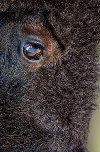 Reflections in a Bison Eye