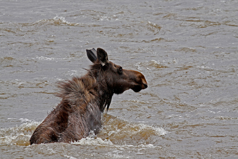 Moose Cow Swimming the Lamar River - Yellowstone National Park