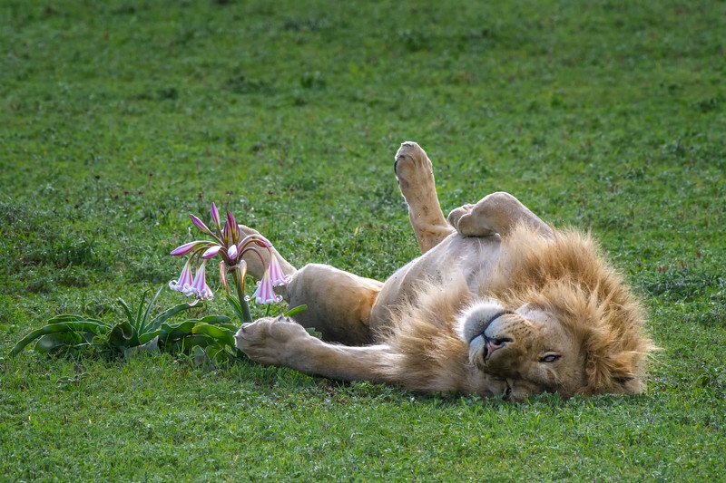 Male lion rolling over onto his back near a Swamp Lily in Ngorongoro Crater, Tanzania, East Africa