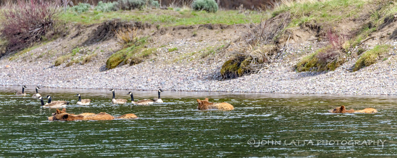 Interested Canada Geese Watch 399 and Her Cubs Swim Across the Snake River