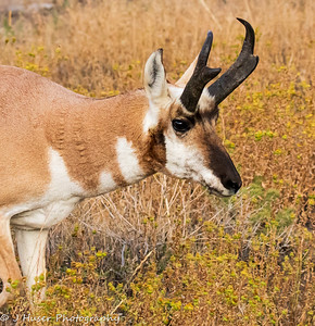 Closeup of Male Pronghorn Antelope