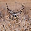 Monster Mule Deer Buck in the Weeds