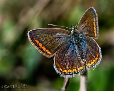 Northern Brown Argus - Aricia Artaxerxes