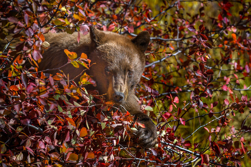 Cinnamon Black Bear in a berry bush, Grand Teton National Park, Wyoming