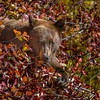 Cinnamon Black Bear in a berry bush, Grand Teton National Park, Wyoming