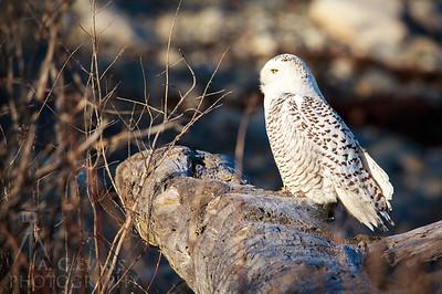Snow Owl 1