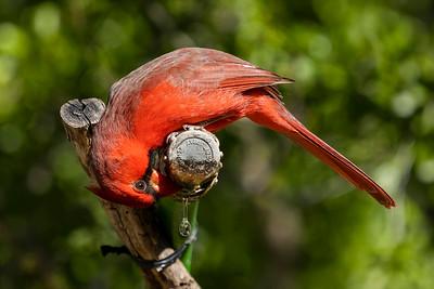 Thirsty Cardinal