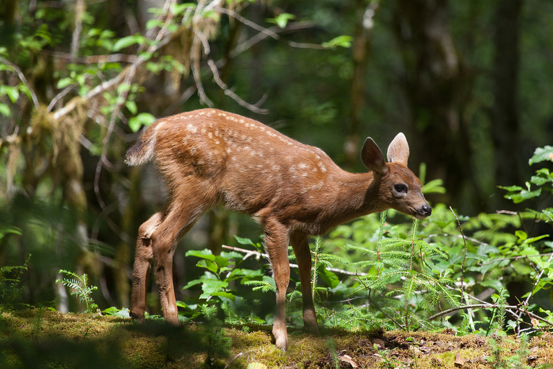 Fawn, Hoh Rain Forest, Washington State
