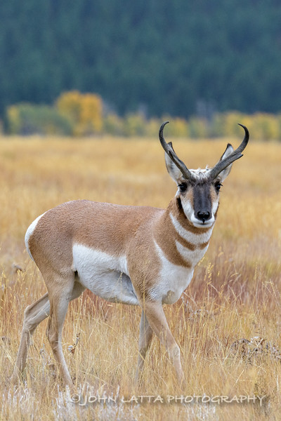 Pronghorn Buck