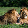 Two male lion brothers resting in the green grass on the floor of the Ngorongoro Crater, Tanzania, East Africa