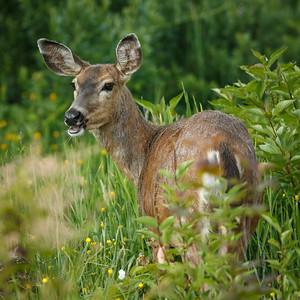 Black-tailed Deer, Juanita Bay Park, Washington