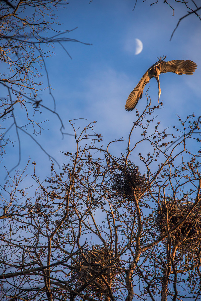 Blue Heron and Moon