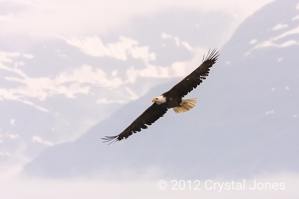 Eagle near Valdez