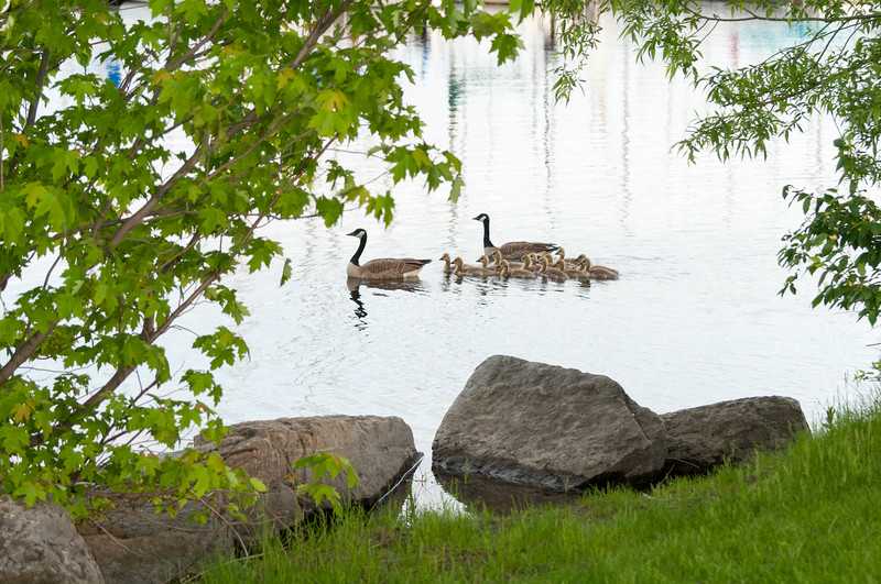 Canada Geese family at the Nepean Sailing Club