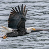 Bald Eagle Rips Kokanee From Water