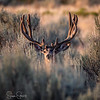 Sagebrush Buck Part III