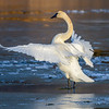Trumpeter Swan Standing on Ice