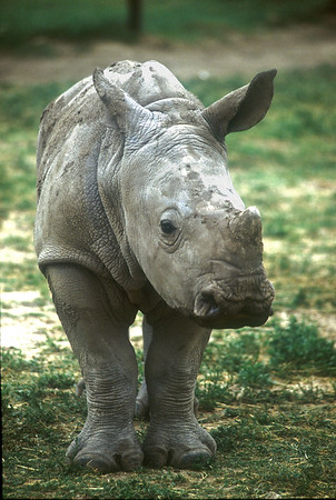 White rhinoceros calf