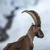 Zermatt Ibex Portrait