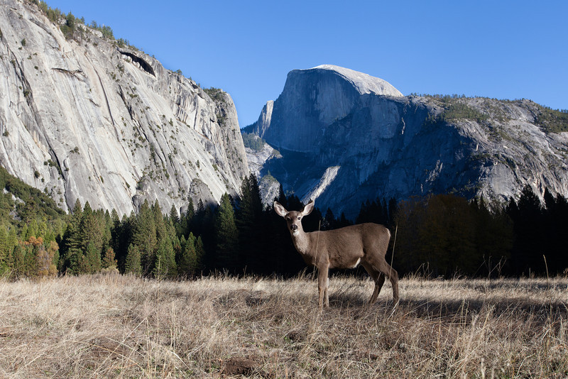 Deer in Yosemite Valley, Yosemite National Park, California