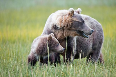 Mother and Cub Grizzly Bears