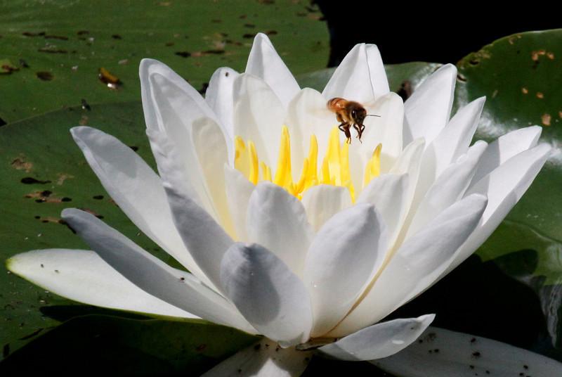 Water Lillies - Schlitz Audubon Nature Center