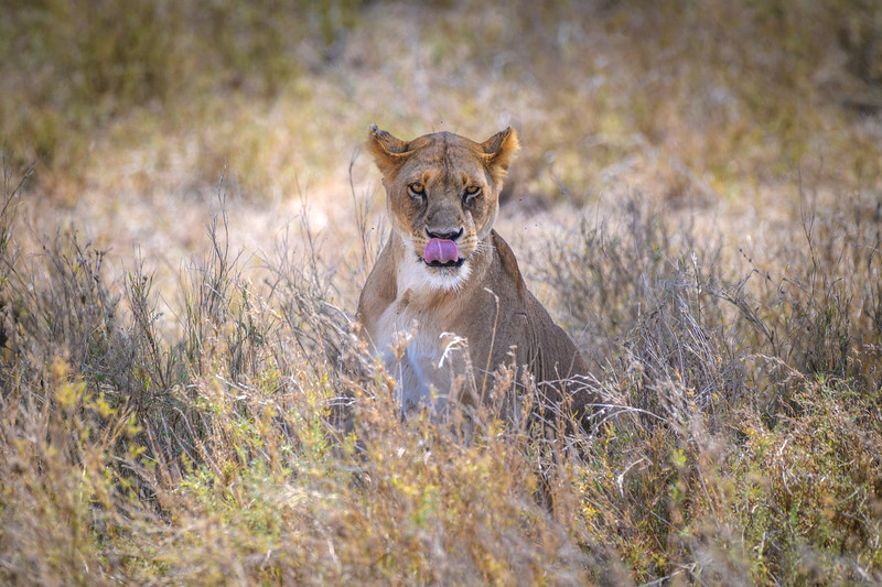 Female lion in the grass in Central Serengeti, Tanzania, East Africa