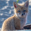 A Red Fox Kit 4/23/21