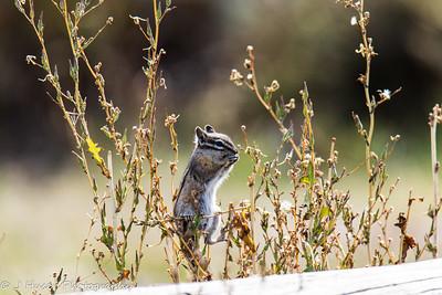 Chipmunk balancing on grass eating seeds