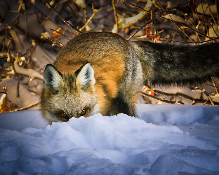 Red fox trying to dig a rabbit out for breakfast.