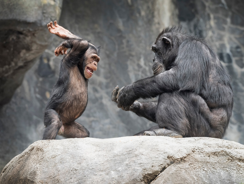 Defiance between a young Chimp and his Mom