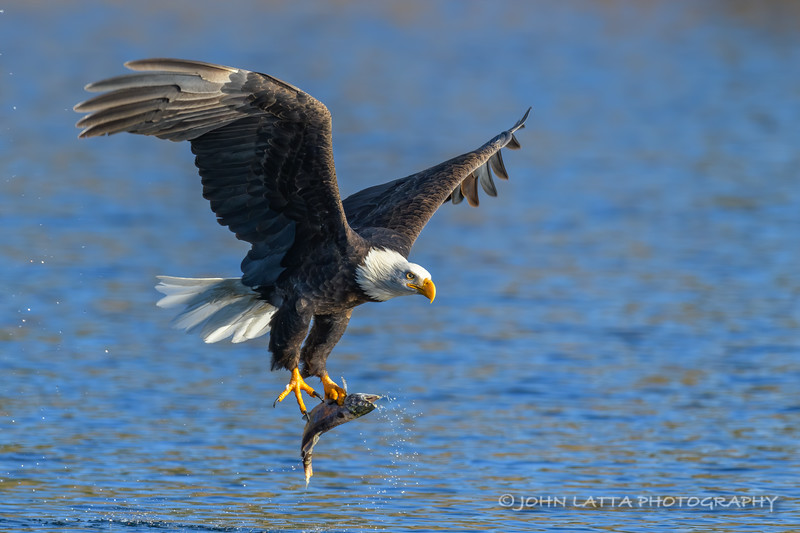 Bald Eagle with Large Kokanee