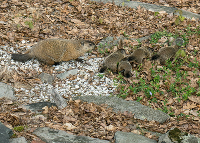 Me & My Shadows: groundhog & babies enjoy a spring stroll in the Pocono Mountains of northeast Pennsylvania.